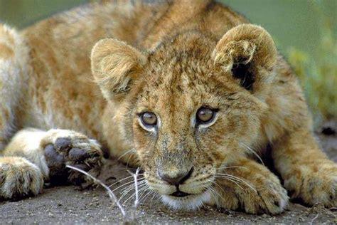 Junger Löwe ( Panthera Leo ), Masai Mara  Jetzt Bestellen