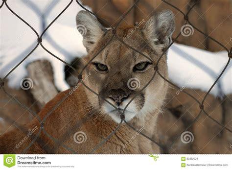 Puma arkivfoto. Bild av fokuserat, medf8ort, nyfiket ...