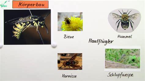 die wespe bau und lebensweise biologie  lernen