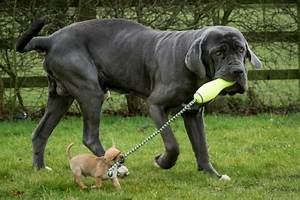 10 Biggest Dog Breeds In The World You'd Want To Own