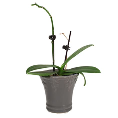 what to do when your orchid flowers fall help i need to know whether my orchid is resting or dead