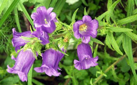 bellflower plant 150 i canada beleaf it bradford greenhouses