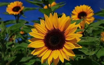 Sunflower Wallpapers Widescreen 1080p