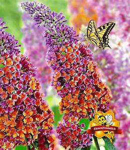 Flower Power Blumen : buddleia 39 flower power 39 sch n pflegeleicht bei baldur garten ~ Yasmunasinghe.com Haus und Dekorationen