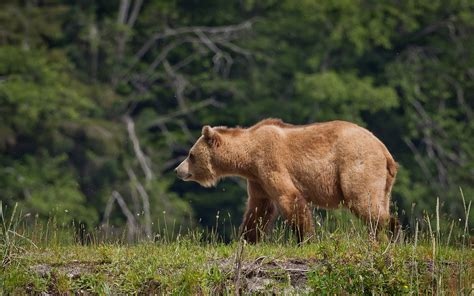 fondos de pantalla del oso pardo wallpapers de osos en hd