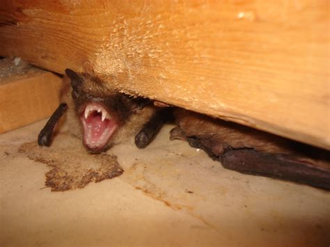 why do bats live in homes skedaddle humane wildlife control