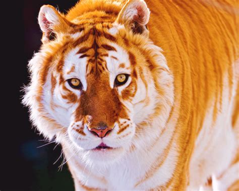 Golden Tiger Tumblr