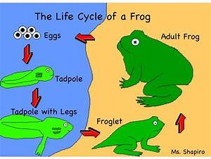 Pin By Catalina Pline On Life Cycle Of A Frog
