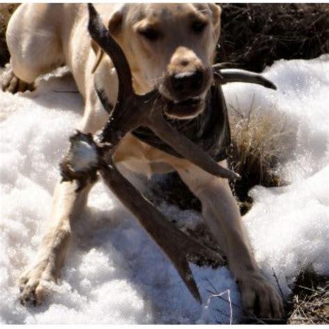 shed dogs utah seekells shed dogs of idaho ssdoi labrador retriever