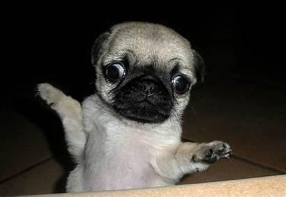 Pug Faces Why Reasons Derp Puppy Dogs