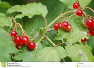 Busch Mit Roten Beeren : rote beeren auf belaubtem busch stockbild bild von laub busch 2954485 ~ Markanthonyermac.com Haus und Dekorationen