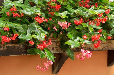care of begonia plant begonias