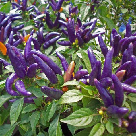 Australian Seed - CHILLI Purple Prince