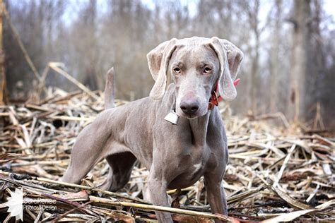 do weimaraner puppies shed does this collar make me look justweimaraners