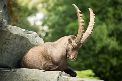 Goat Horns Animals Sheep Ibex Artiodactyl Wallpapers