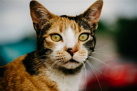 calico cat cats kitty names male rare unsplash follow why eyes carl tummons andrea palmer sentinel clever catvills