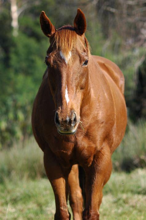 horse front animals horses eat wikimedia cow raptor commons arabian forward quarter ok domain file wild legs why description crease