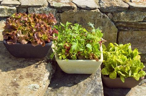 How To Grow Lettuce In A Pot  Home Design, Garden