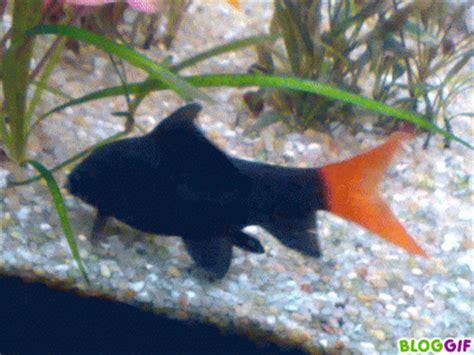 le labeo poissons d aquarium d eau douce