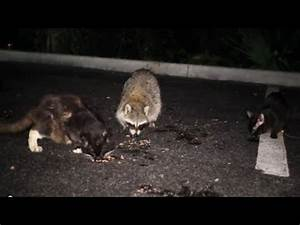 Raccoon Life 3 - Raccoons and Cats Sharing a Meal - YouTube
