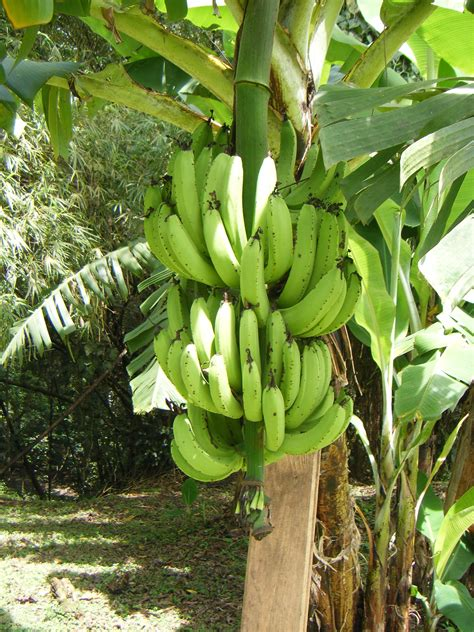 banana trees that s how i see a banana rebrn com