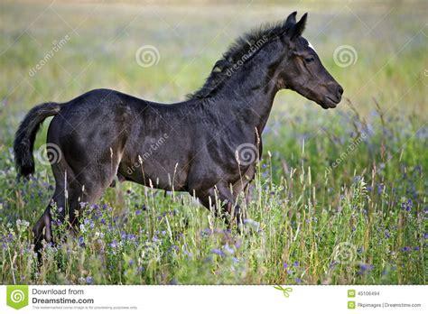 horse foal cheval meadow flowers nero negro horses arabian standing cavallo weide bloemen zwart prato bambino fiori dei noir campo
