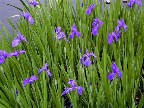 ou acheter cuisine floraison fleurs violette tout