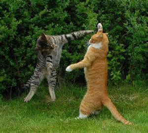 fighting cat two cats fighting cats picture