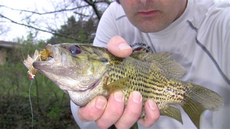 rock bass  ambloplites rupestris species id