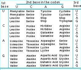 evolution   amino acids