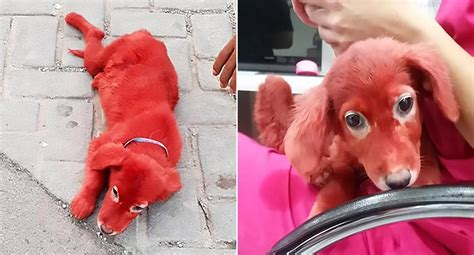 dog dyed scarlet  rescued  animal shelter  man