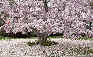 Tulpen Im Garten : tulpen magnolie garten magnolie haus tulpen magnolie ~ A.2002-acura-tl-radio.info Haus und Dekorationen