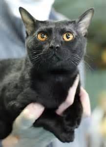 bombay cat bombay cat breed profile metaphorical platypus