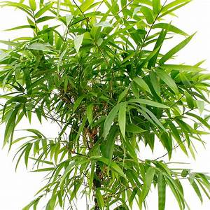 Bambus Pflege Zimmerpflanze : bambus pflege ~ Frokenaadalensverden.com Haus und Dekorationen