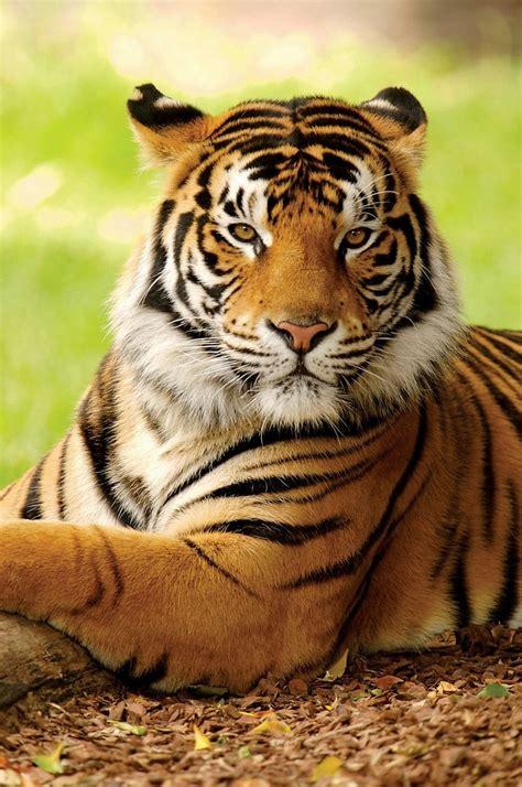 Big Cats Images Beautiful Tiger Hd Wallpaper And