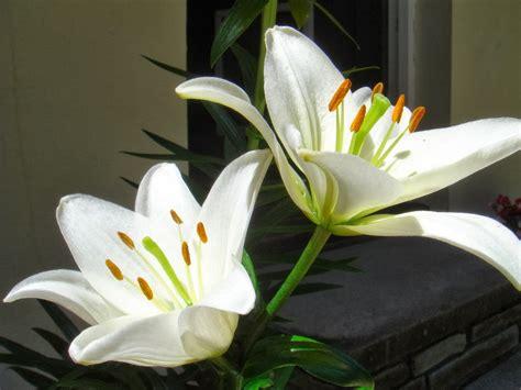 gambar bunga lily putih topik pedia