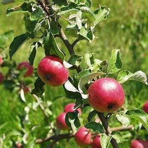 Heimische Pflanzen Für Den Garten : zierapfel deko f r den garten heimische ~ Michelbontemps.com Haus und Dekorationen