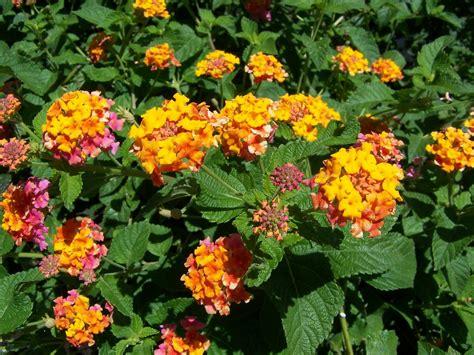 lantana plant the nature dude tough plants for tough times