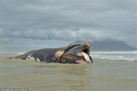 Boat Lift Out Of Water by Dead Whale Carcass Has Its Tail Ripped Off In Botched