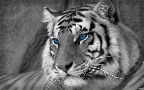 White Tiger Desktop Backgrounds Wallpaper Cave