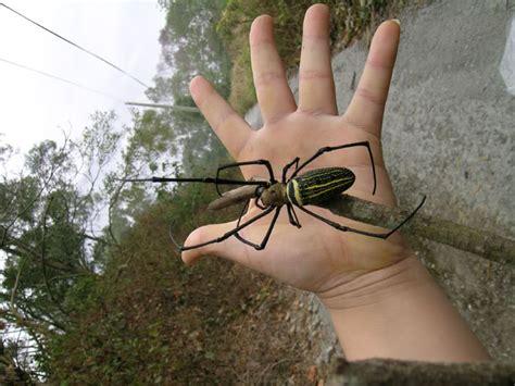rare creepy crawler super sized spider   south africa