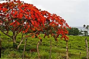The Flamboyant Tree: A Puerto Rico Icon Puerto Rico
