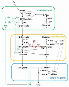 The Photorespiratory Nitrogen Cycle Showing The