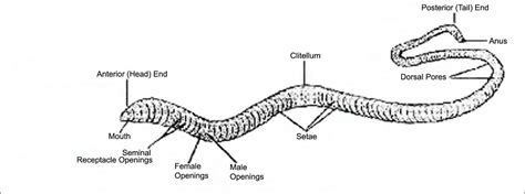 Worm Internal Anatomy Label