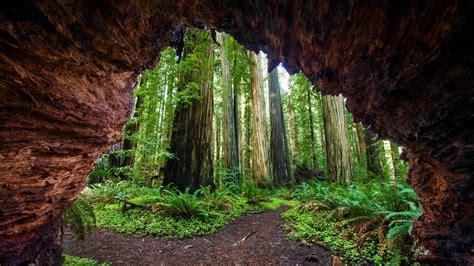 Redwoods Jedediah Bing Wallpaper Download