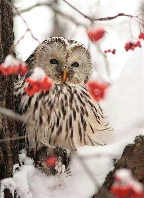 winter owl winter beauty