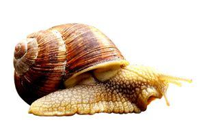 cuisiner les escargots de bourgogne escargots de bourgogne