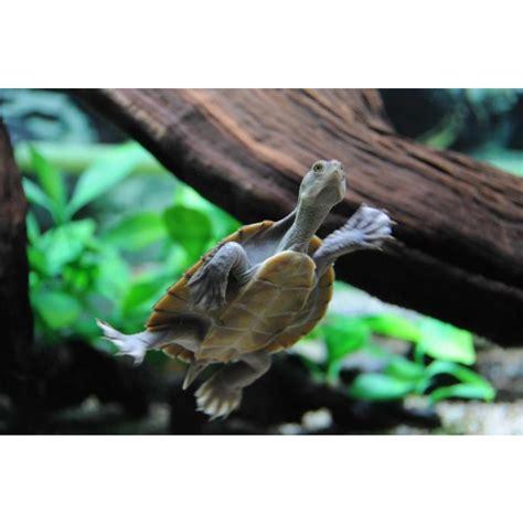macleay river turtle amazing amazon