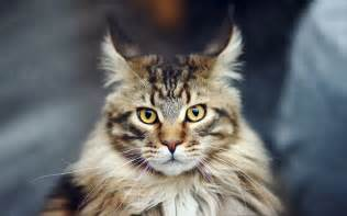 Do Maine Coons Shed Their Mane by Maine Coon Cat Purrfect Cat Breeds