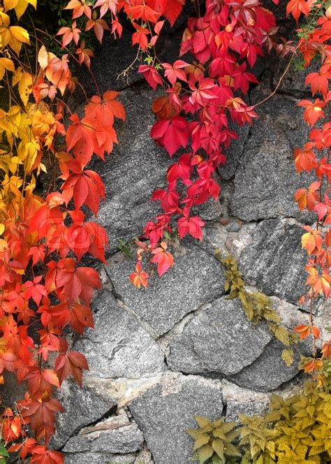 Red Climbing Plant On Grey Stone Wall Background Stock